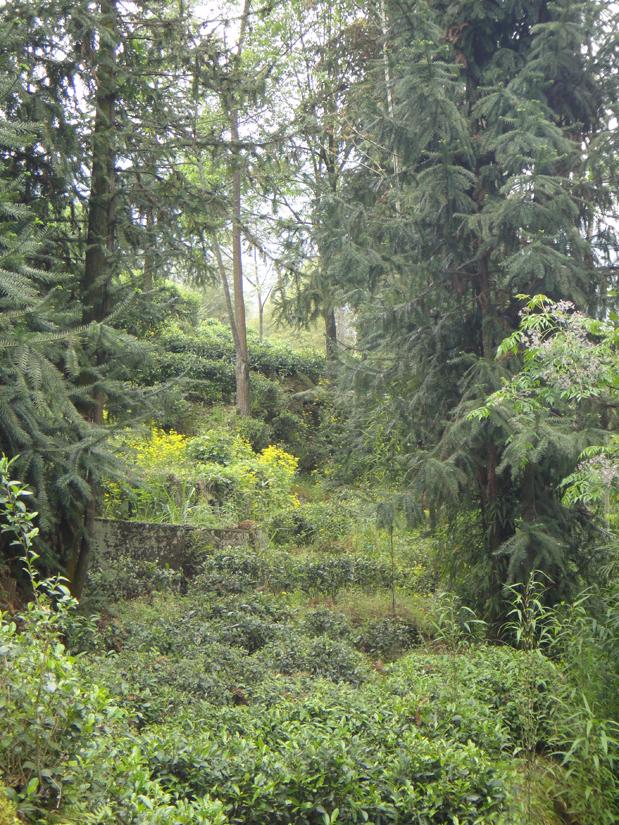 Teegarten in Tanyang