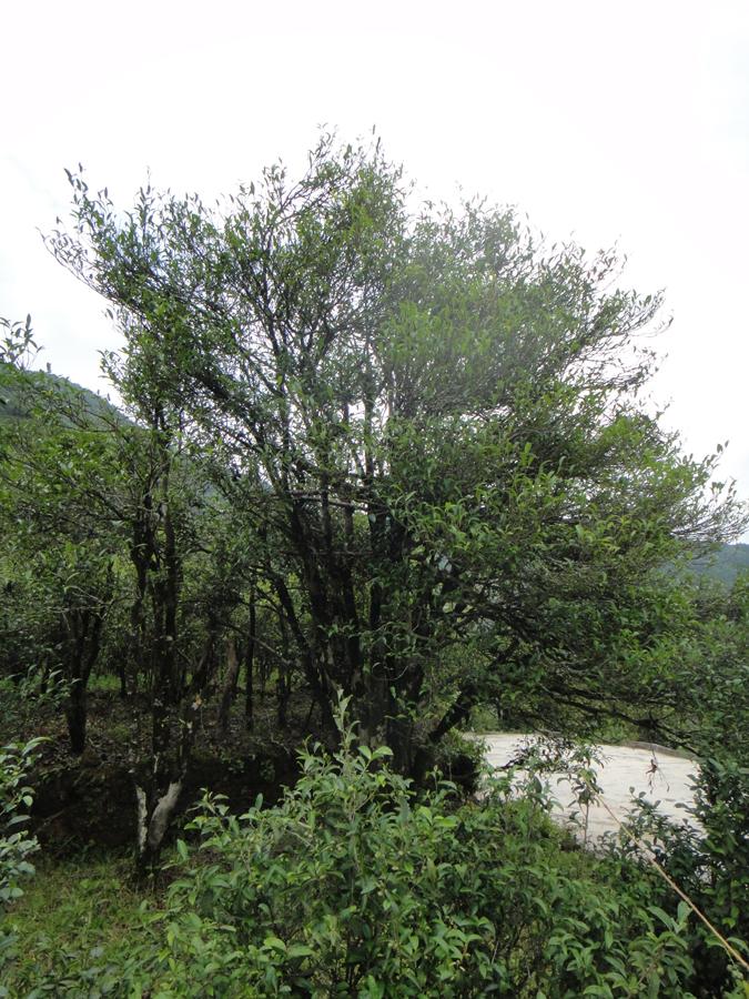 Alter Teebaum in Shiguping