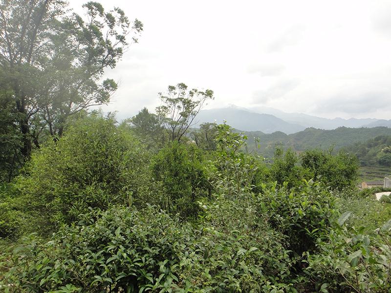 Teegärten in Wuyishan