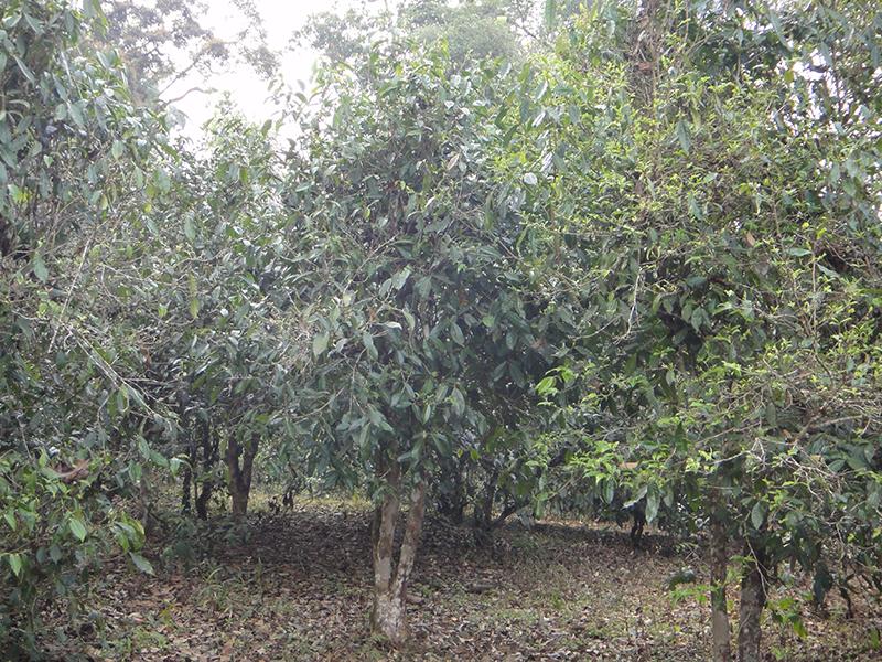 Teereisen: Teewald in Yunnan