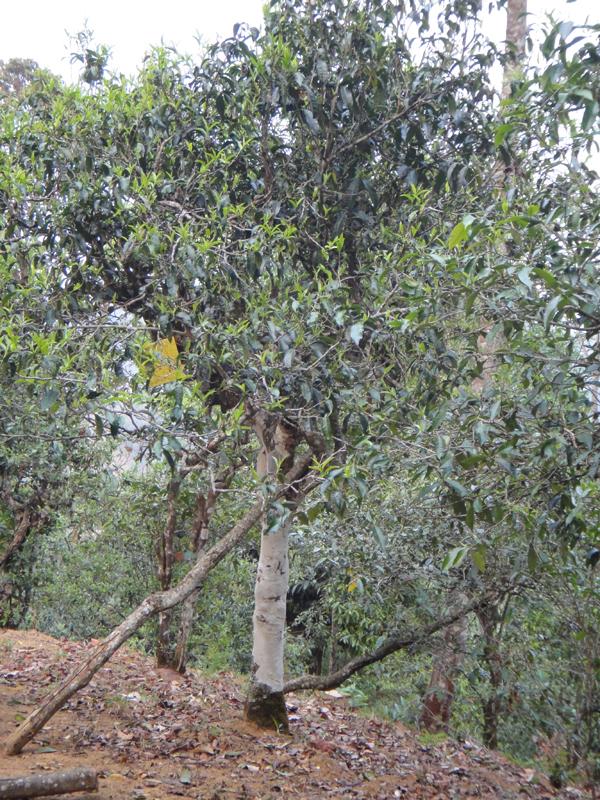 Alter Teebaum am Nannuoshan