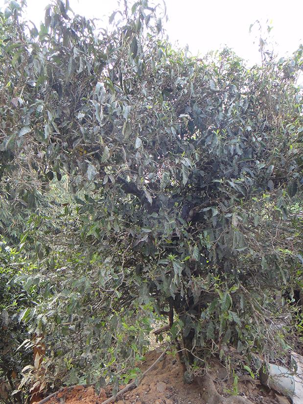 Teebaum Baofahu am Nannuoshan