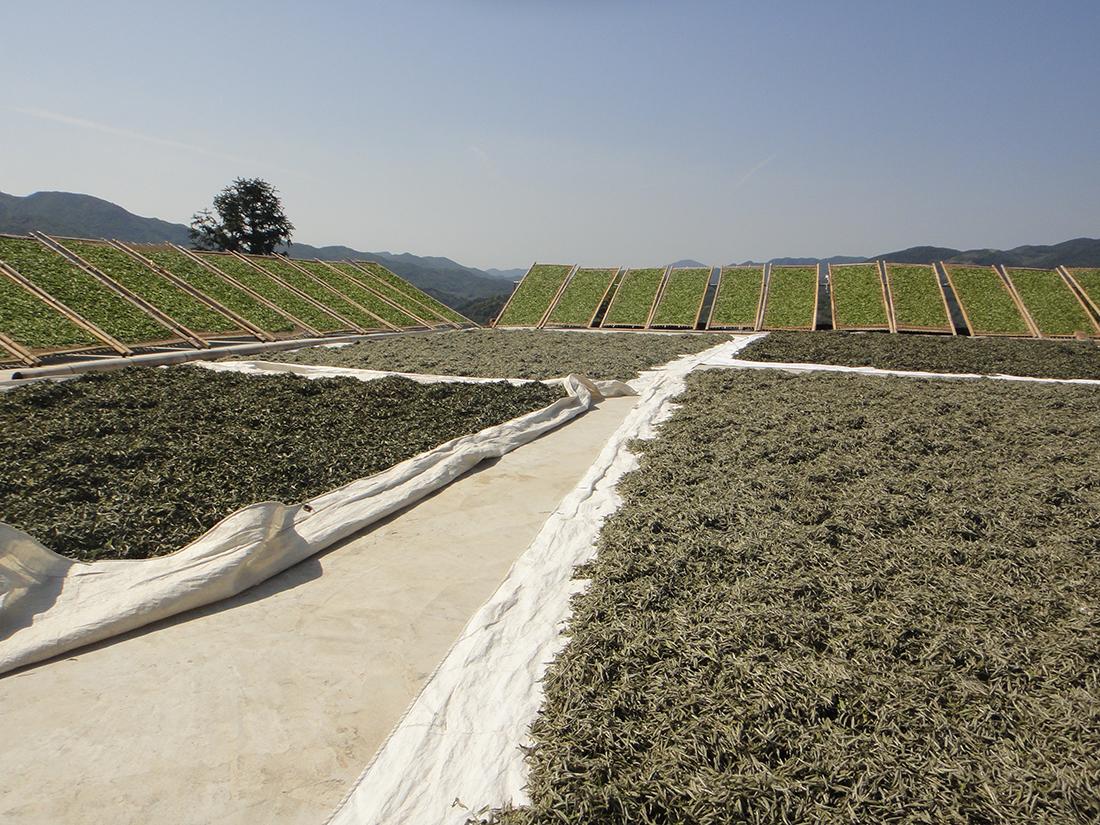 Zum Sonnenwelken ausgelegte Blätter für Weissen Tee