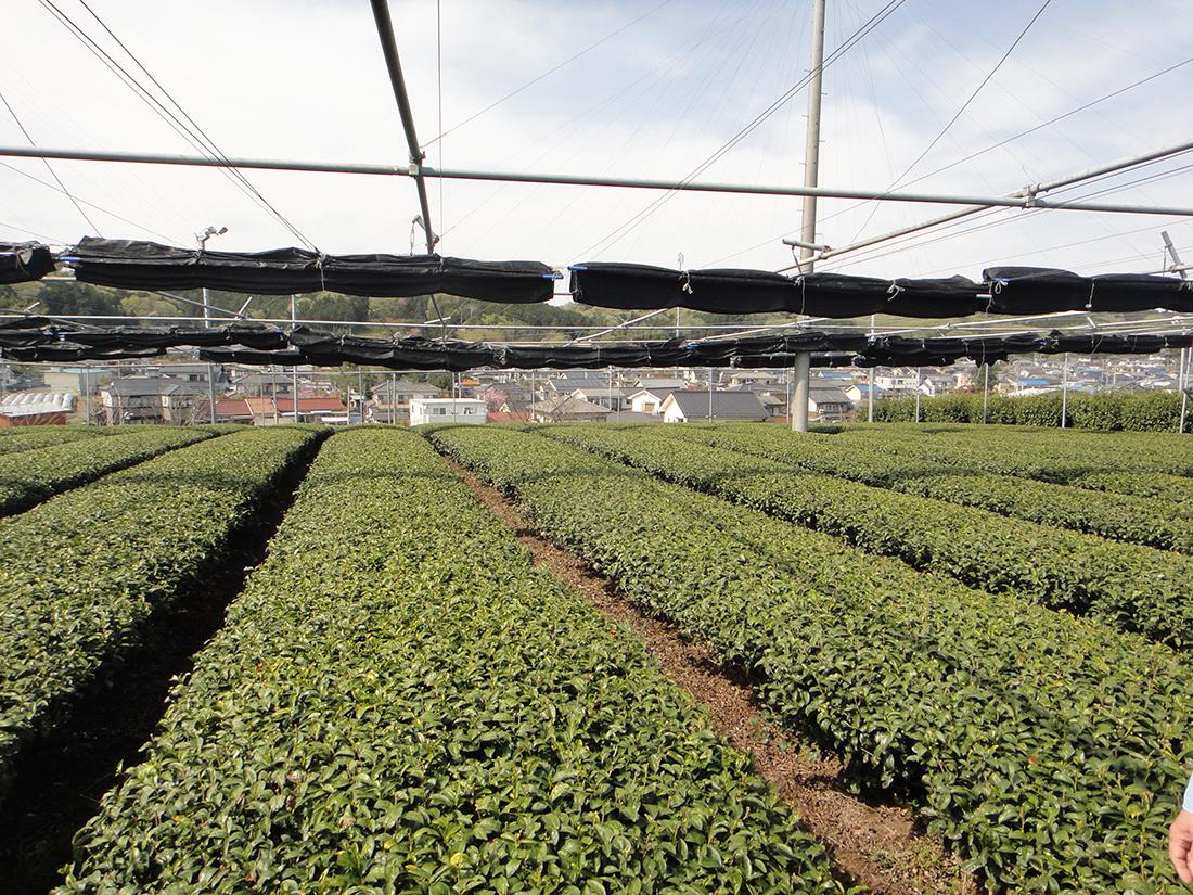 Teegarten Saitama für Kocha