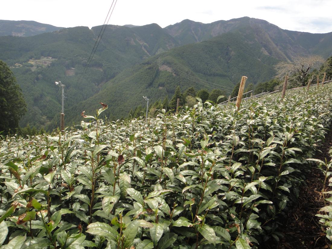 Teegarten in Kawanehon