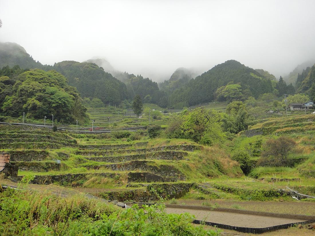 Teegärten Ureshino für Tamaryokucha