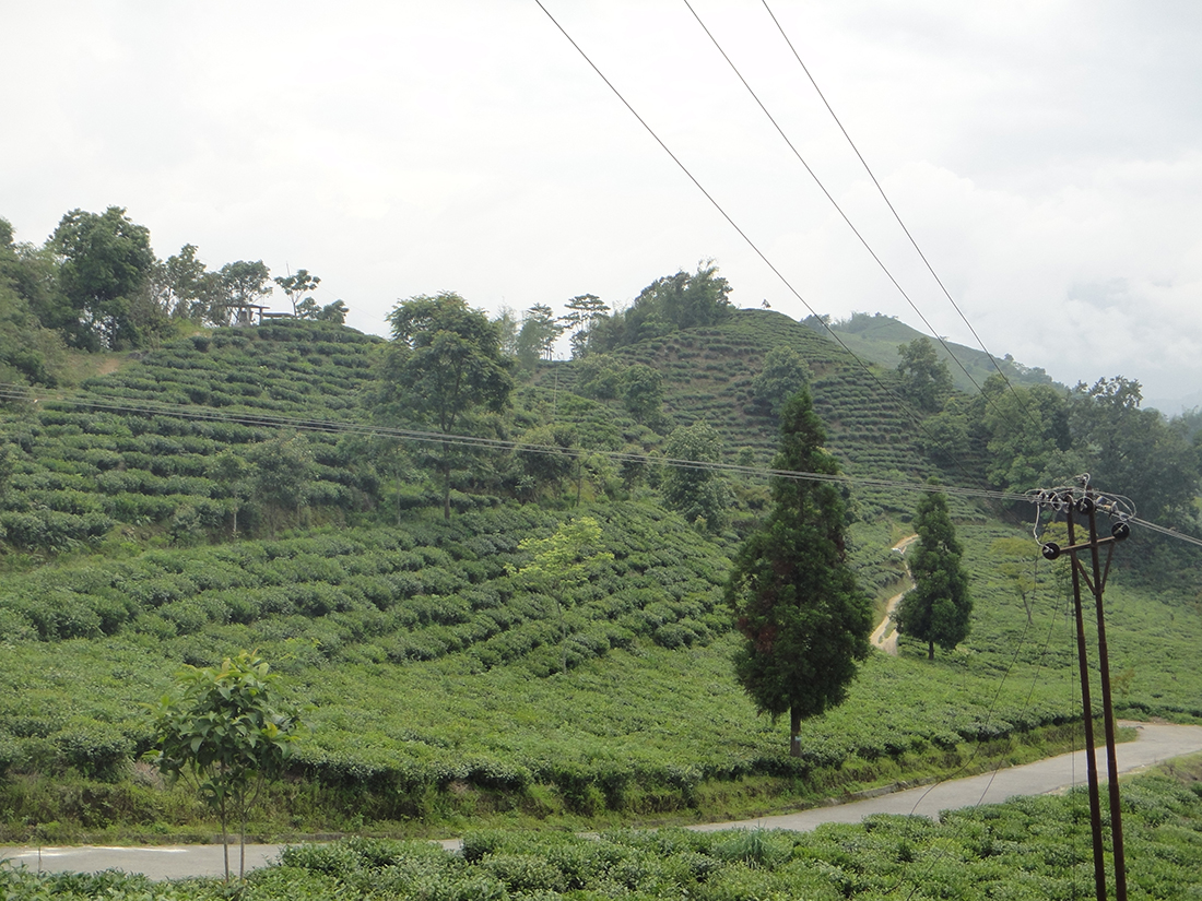 Testa Valley Tea Estate