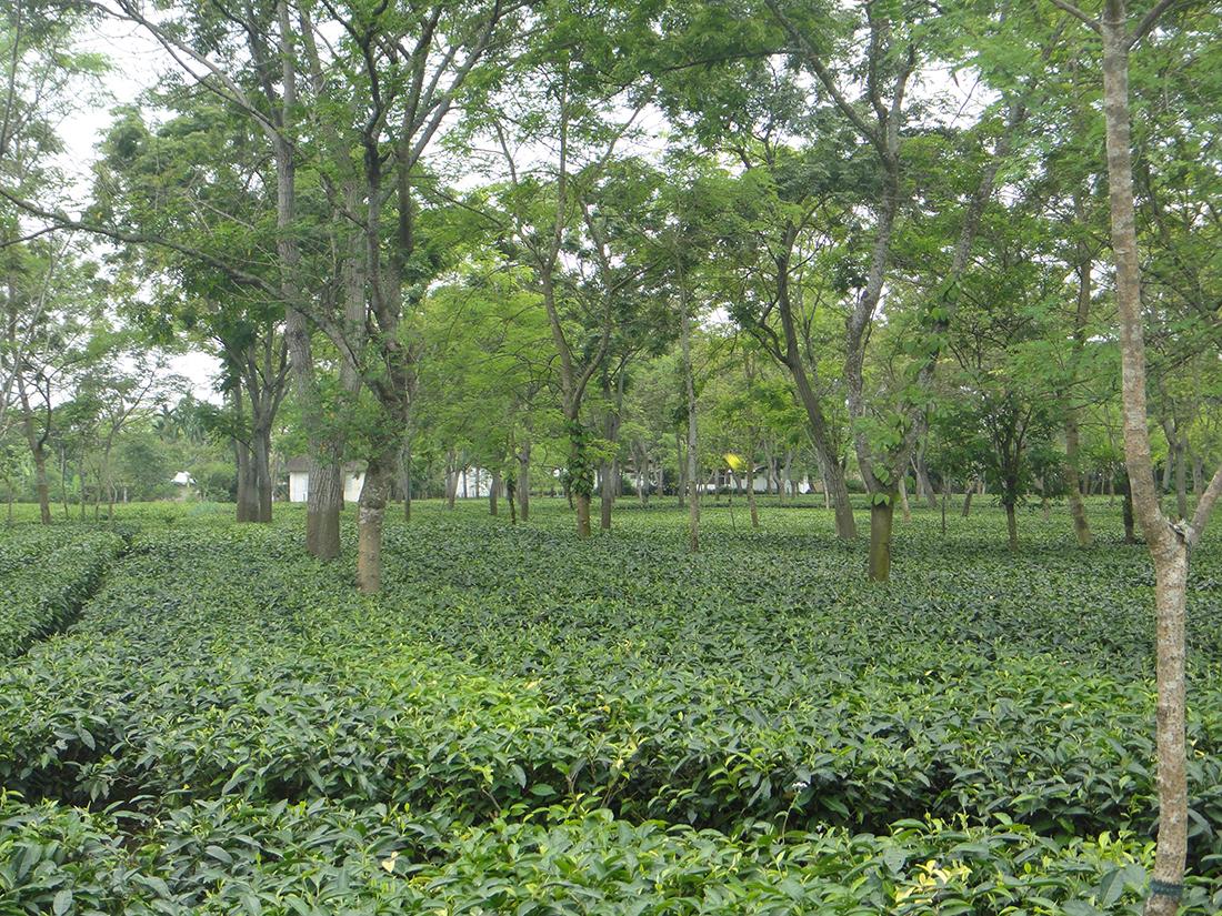 Assam Halmari P126 Bulk
