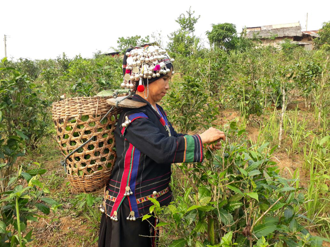 Foto: Bokeo wild tea cooperative