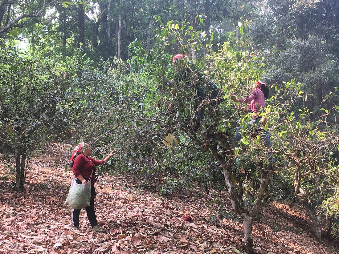 Tee pflücken an alten Bäumen am Nannuoshan