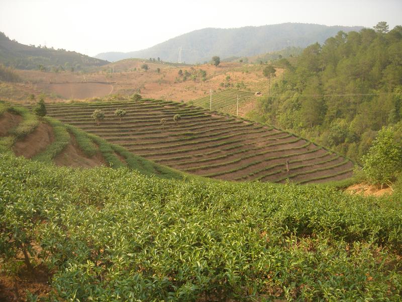 Yunnan Beauty