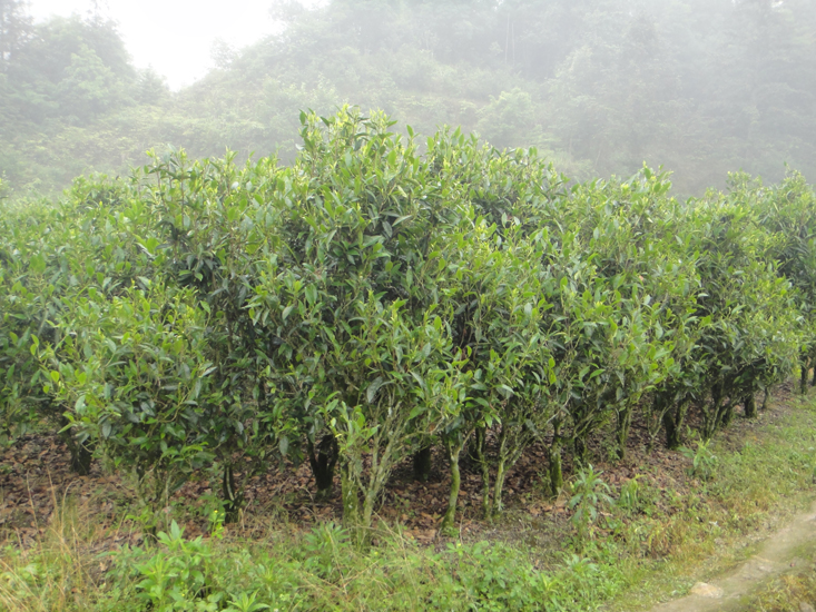 Teegarten in Houkeng, Huangshan