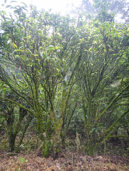 Teebüsche für Xingrenxiang