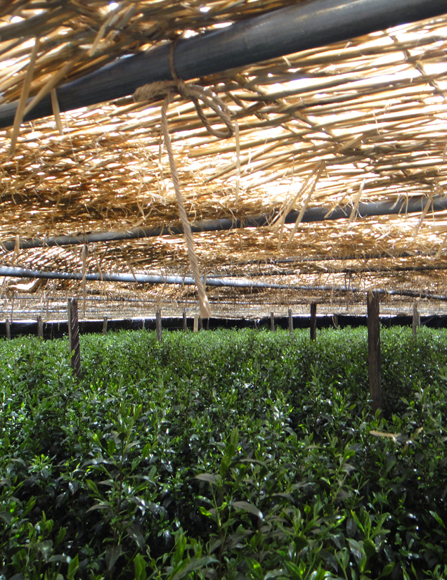 Teebüsche unter Strohabdeckung für Gyokuro