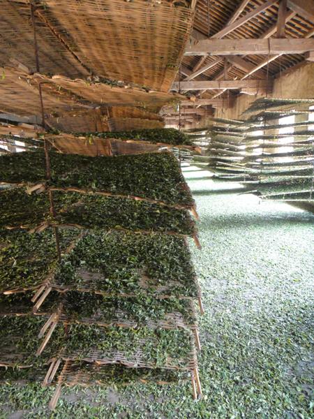 Blätter für Dian Hong werden gewelkt