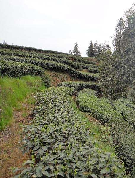 Teegarten von Zhang Yuehua in Mingshan