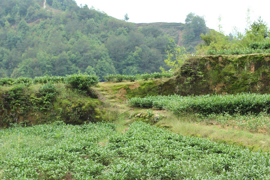 Teegärten in Anxi, u.a. für Huangjingui
